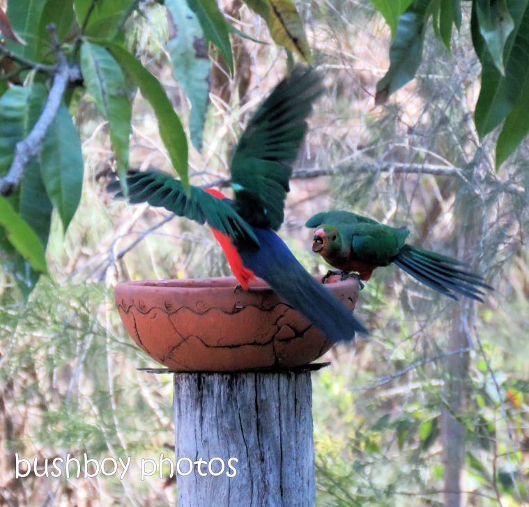180822_blog challenge_scene_birdbath8_king parrots