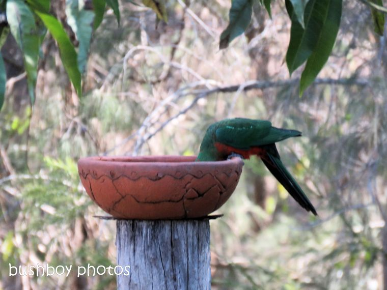 180822_blog challenge_scene_birdbath9_king parrots