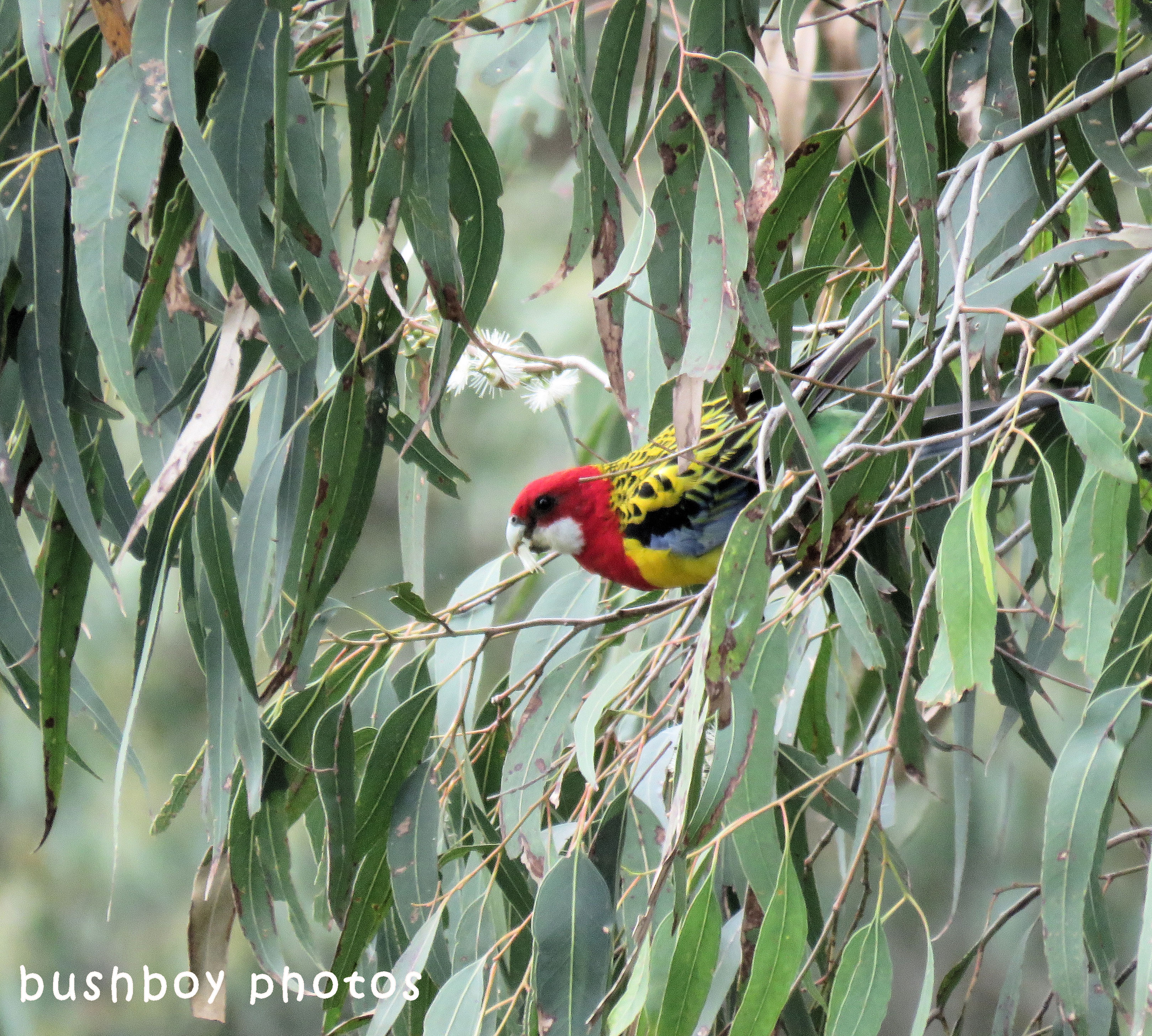 eastern rosella_named_caniaba_july 2018