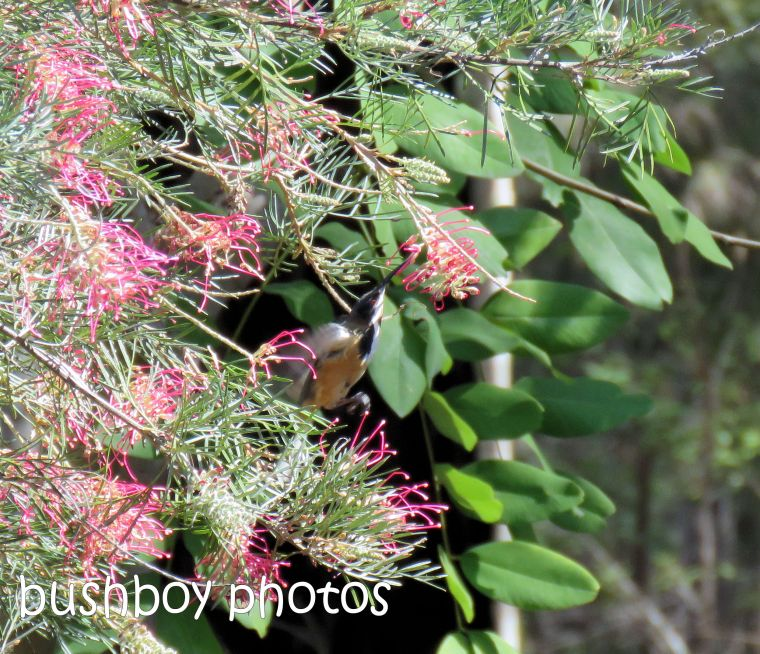 eastern spinebill01_grevillea_named_home_august 2018