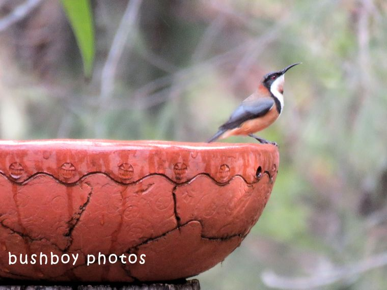 eastern spinebill_bidbath_named_home_july 2018