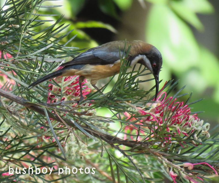 eastern spinebill_grevillea_named_home_july 2018