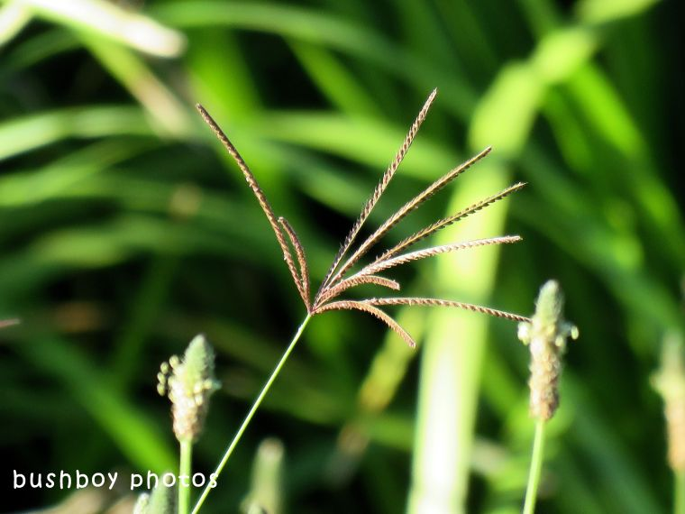 grass seed_paspalum_named_caniaba_july 2018
