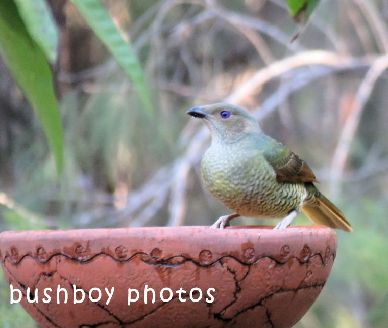 satin bowerbird_female_bird bath_named_home_july 2018
