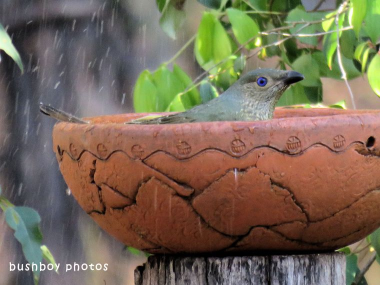 satin bowerbird_female_bird bath_splash_named_home_july 2018