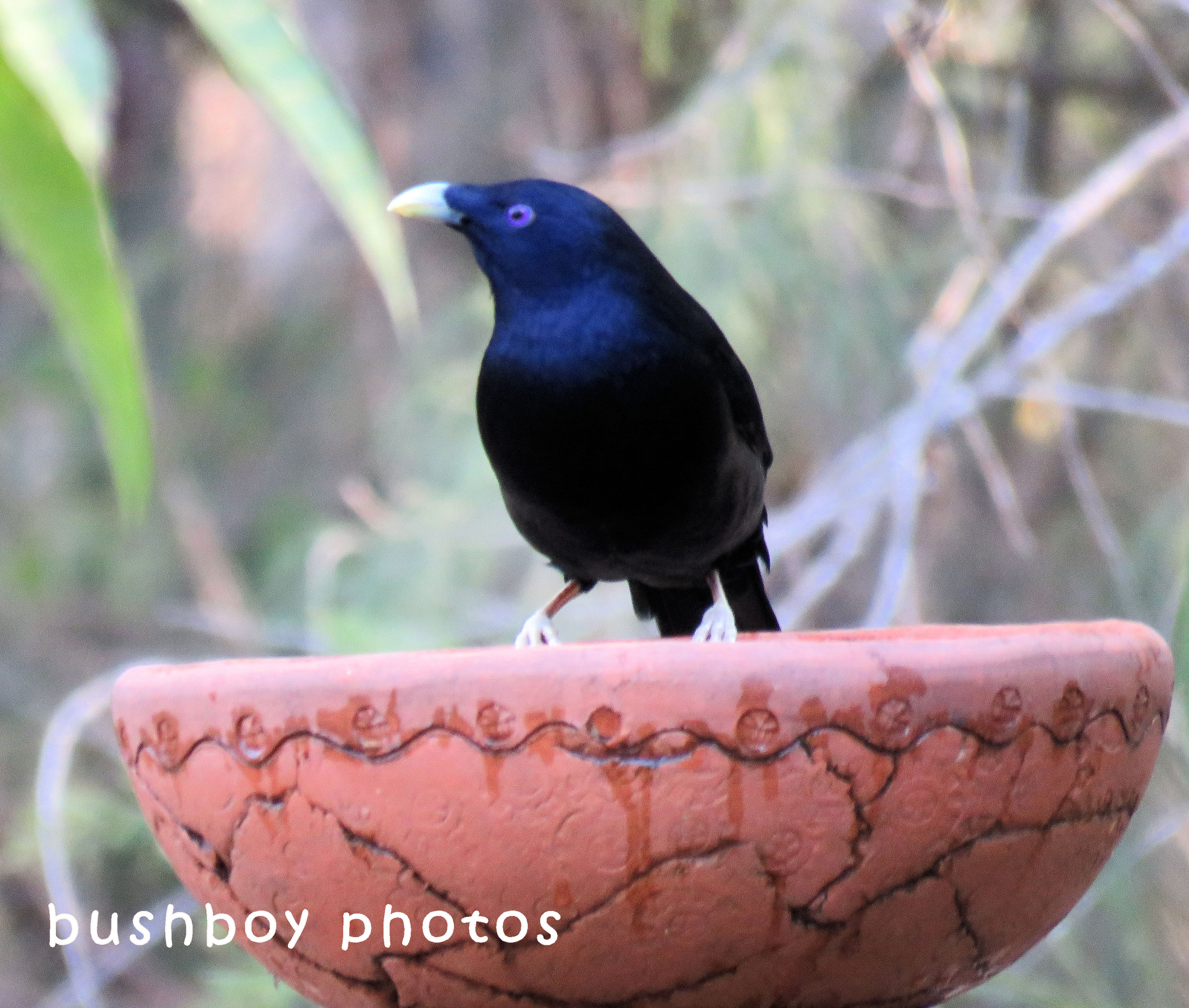 satin bowerbird_male_bird bath_named_home_july 2018