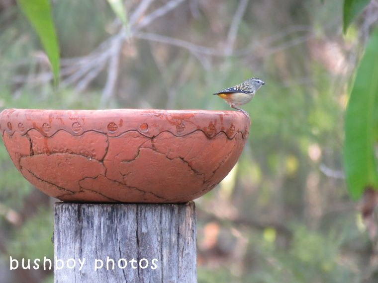 spotted pardalote_bird bath_named_home_july 2018