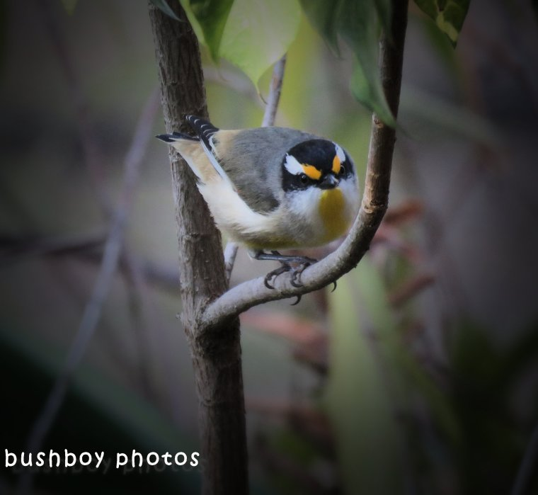 striated pardalote_named_home_july 2018