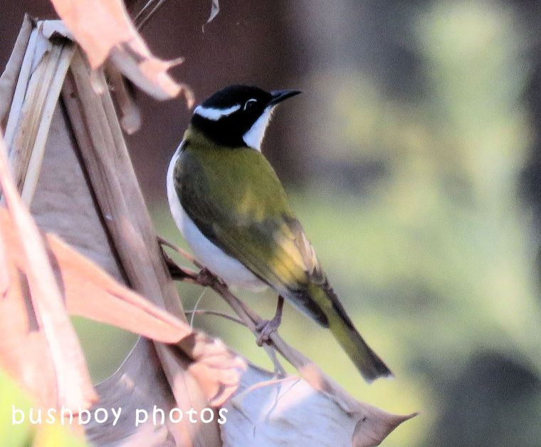 white throated honeyeater_named_home_july 2018