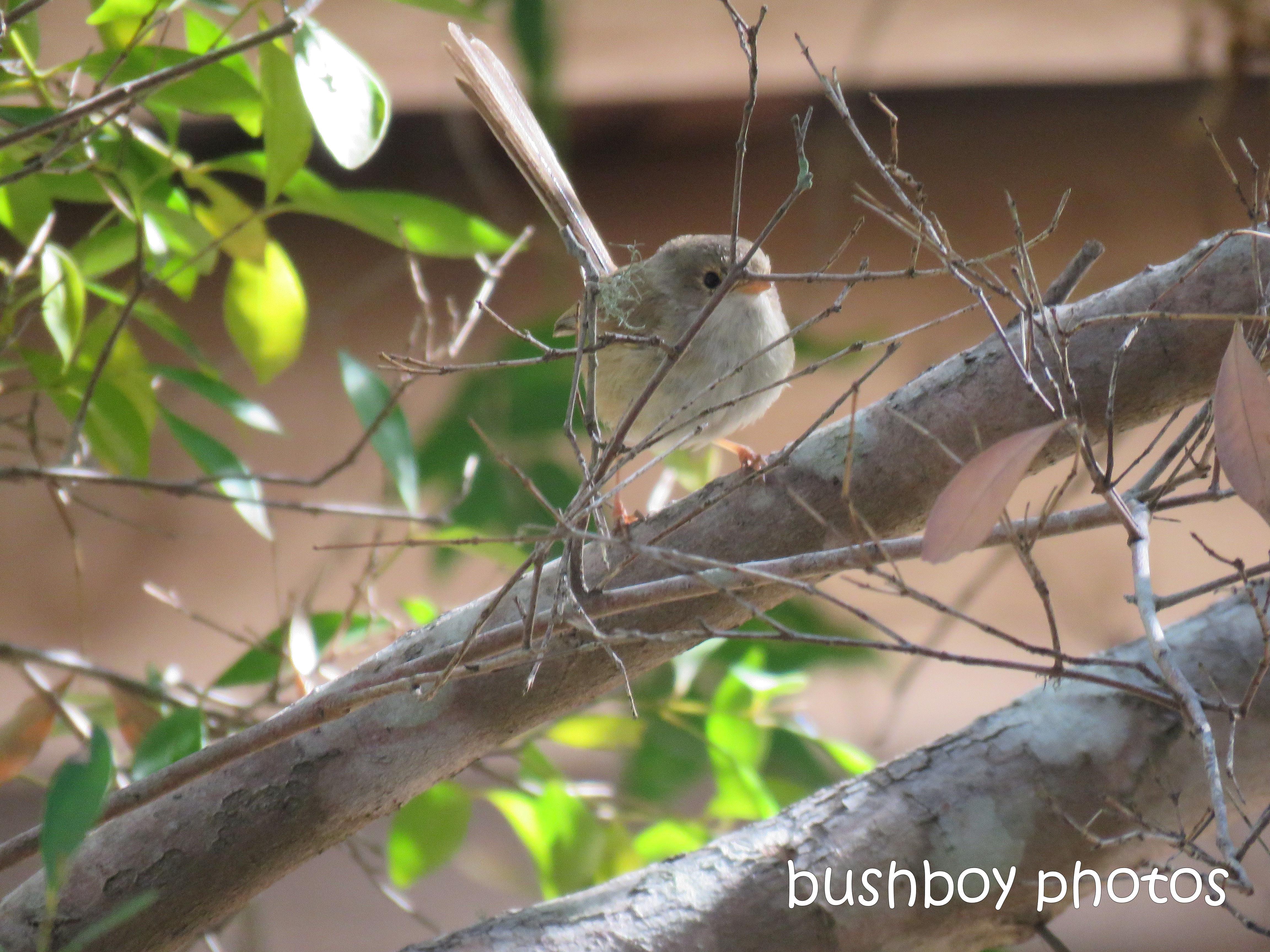 1809011_blog challenge_bird_red-backed wren_female