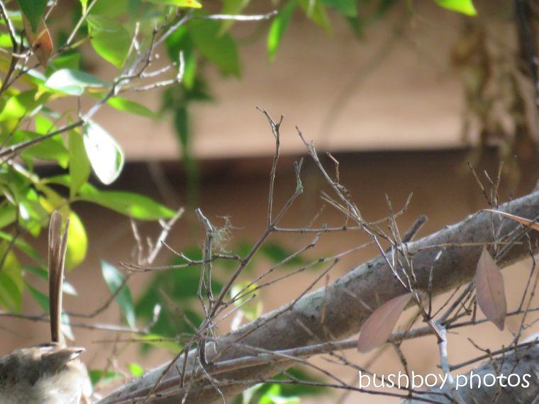 1809011_blog challenge_bird_red-backed wren_female_gone