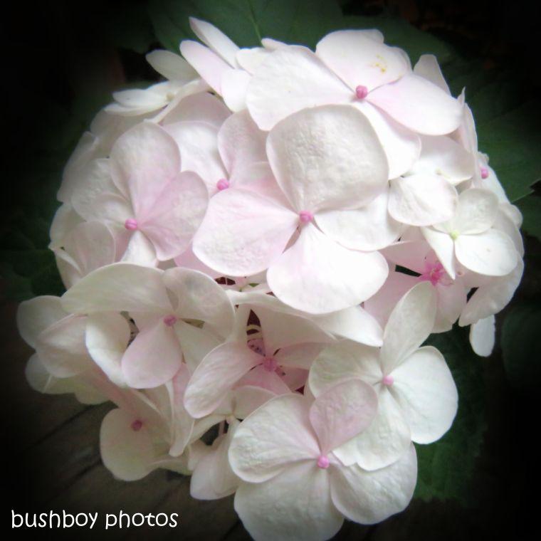 180902_blog challenge_pink_hydrangea