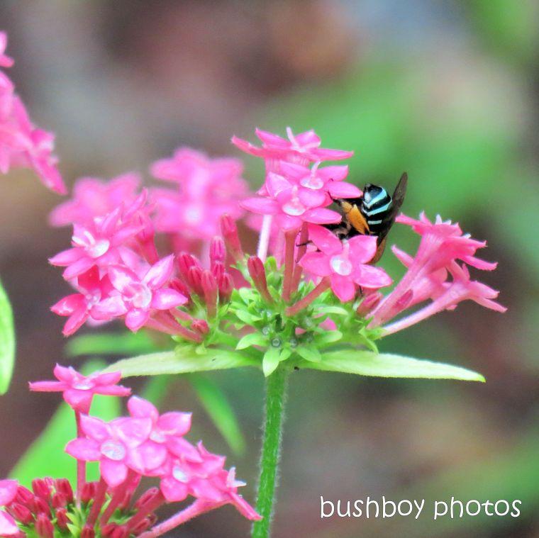 180903_blog challenge_pink_pentas_blue banded bee