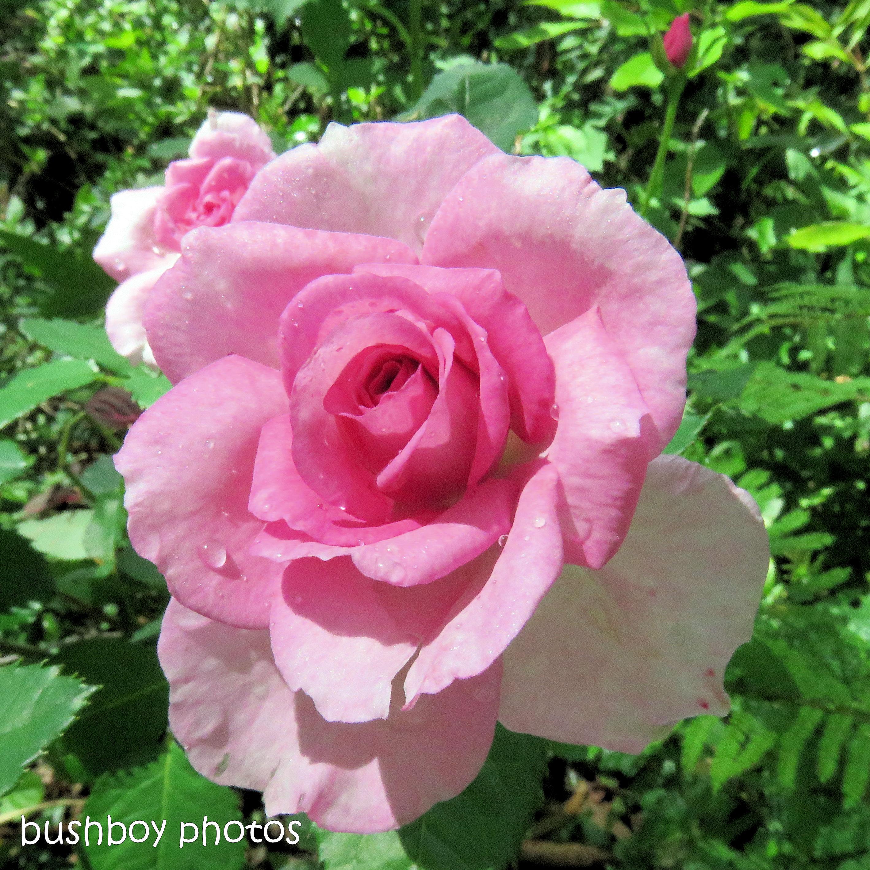 180904_blog challenge_pink square_rose