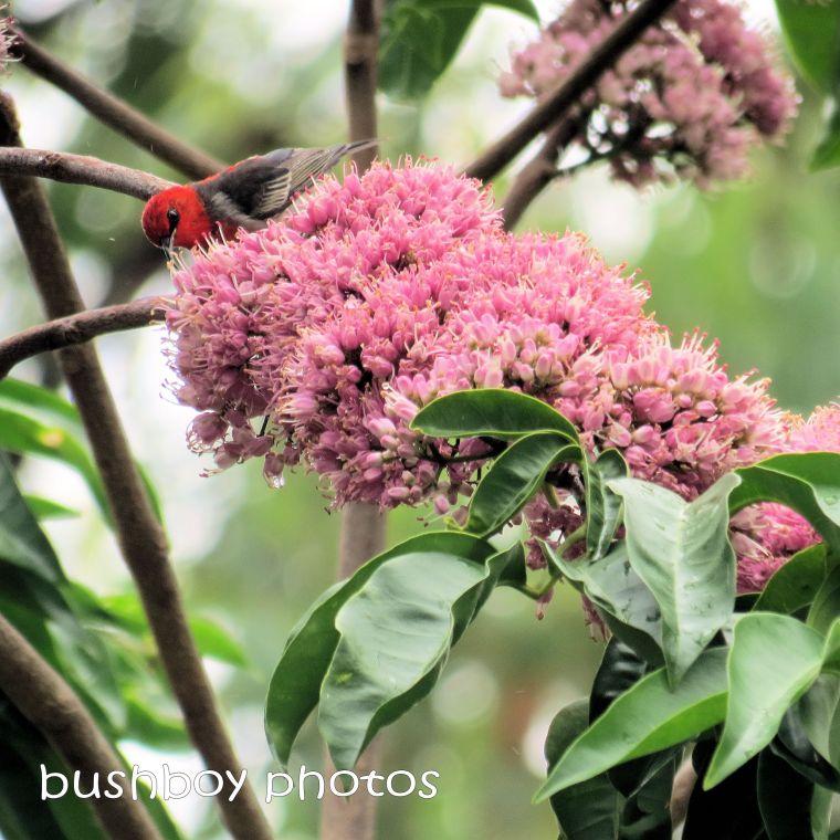 180914_blog challenge_pink square_pink euodia_flower_scarlet honeyeater