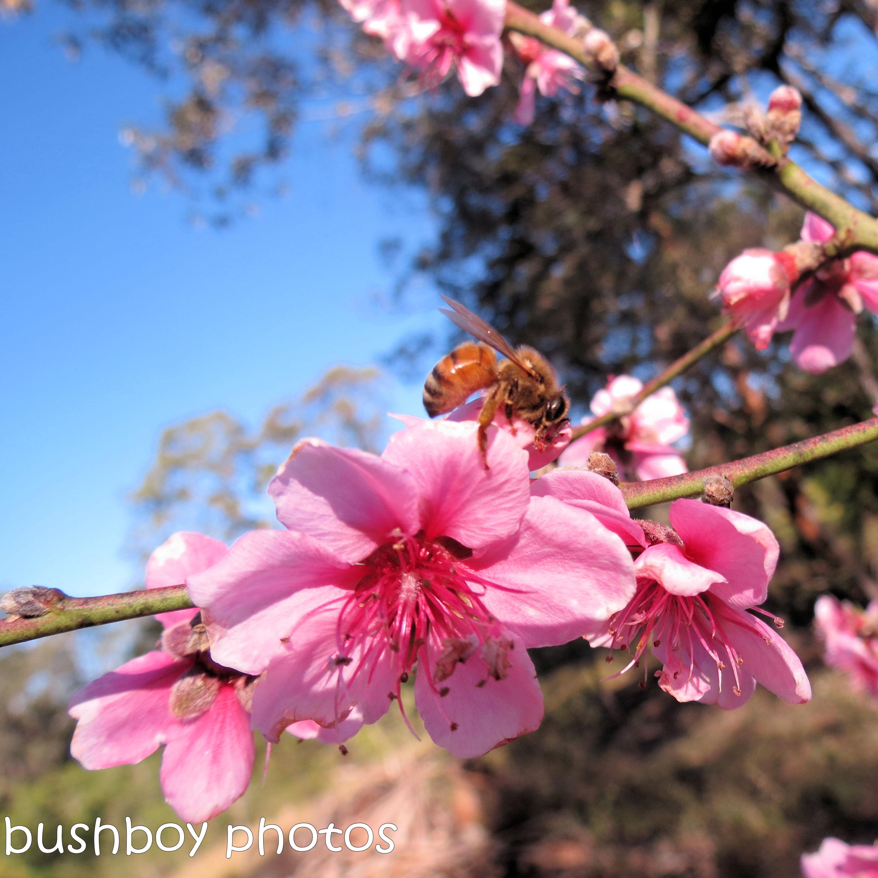 180919_blog challenge_pink square_nectarine_flower_bee