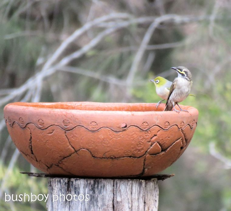 180919_blog challenge_worless wednesday_yellow faced honeyeater_silvereye_bird bath