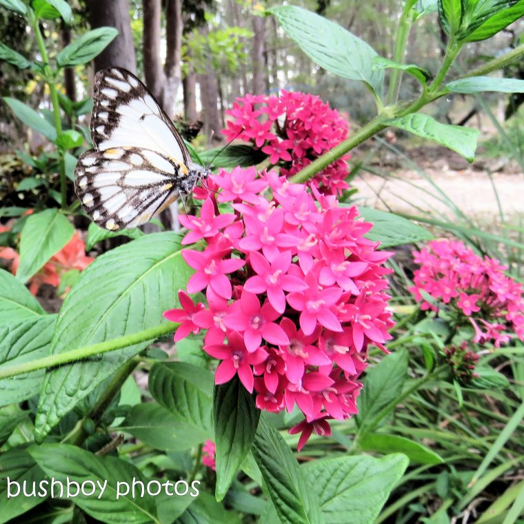 180920_blog challenge_pink square_pentas_flower_caper white butterfly