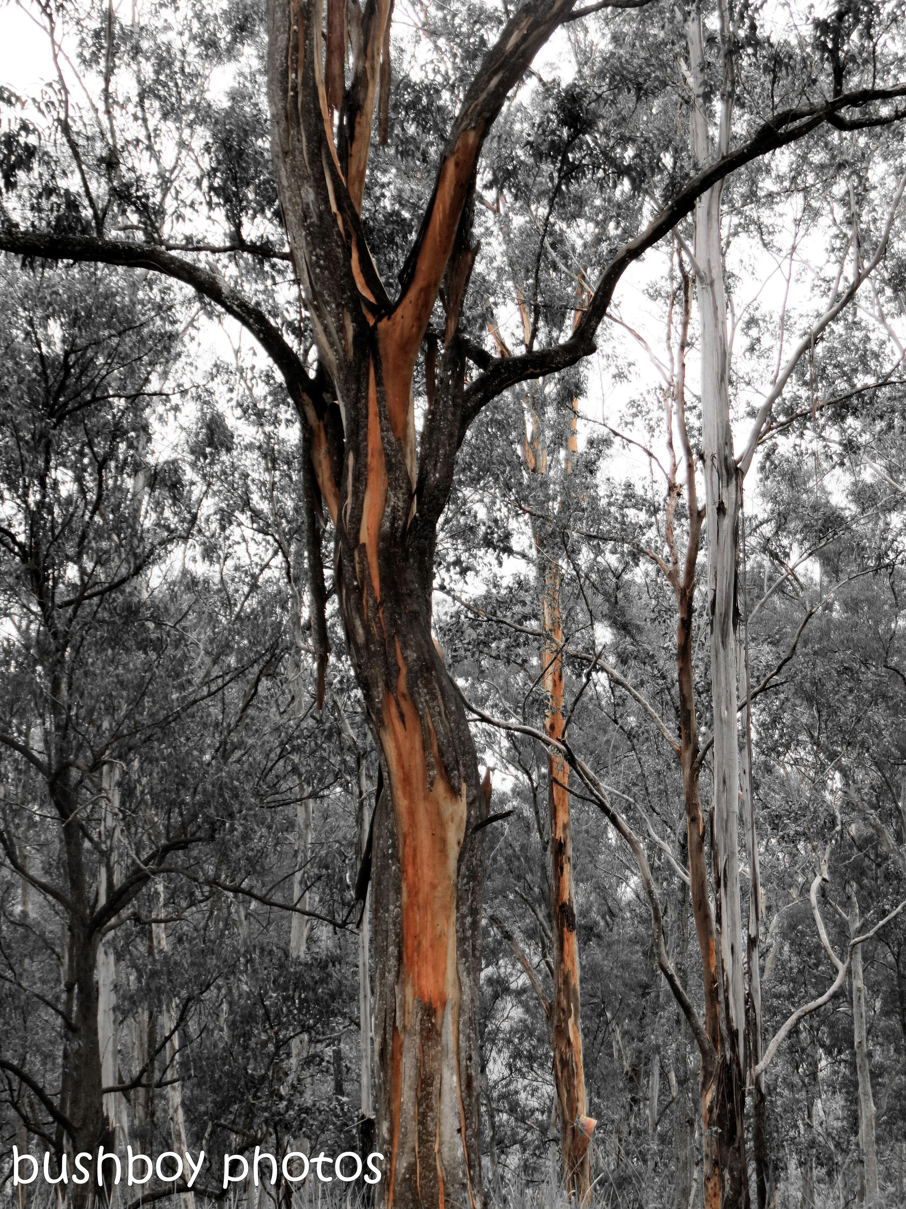 180921_blog challenge_blackandwhite_trees_forest gums_orange_close