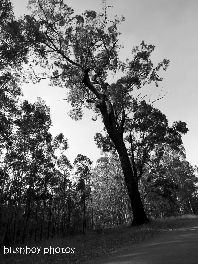 180921_blog challenge_blackandwhite_trees_ironbark