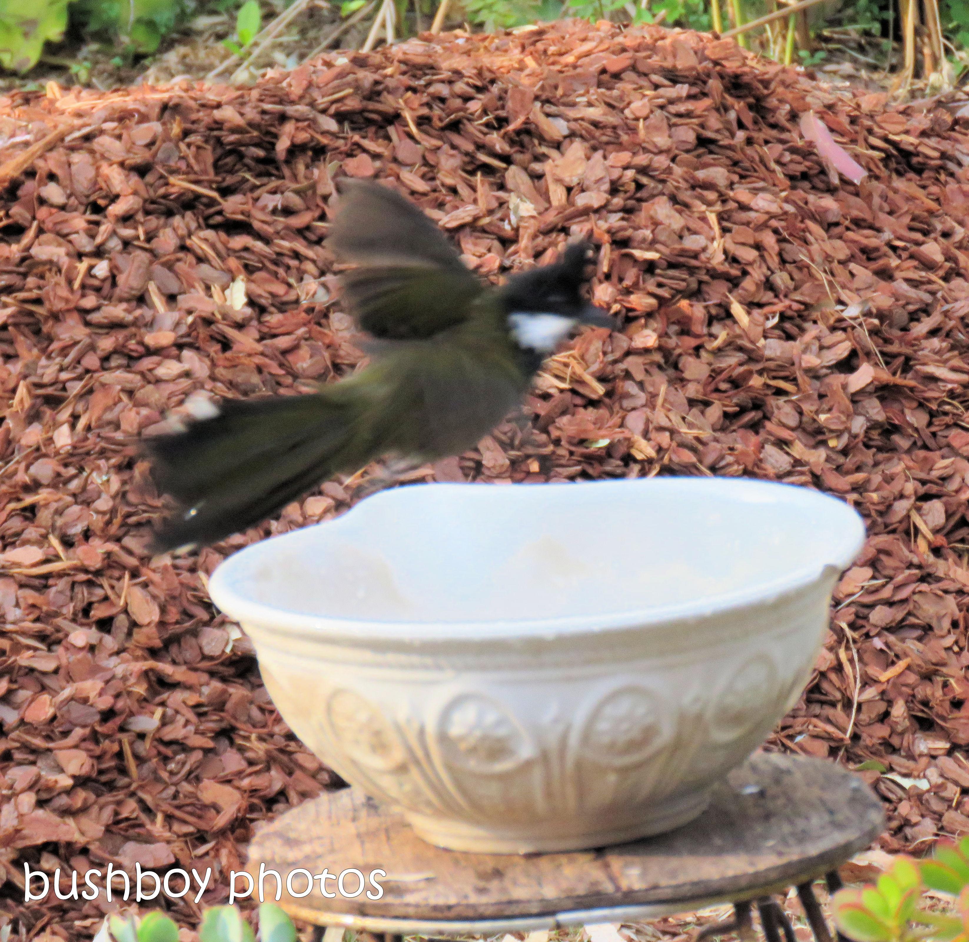 180921_blog challenge_whip bird_bird bath01