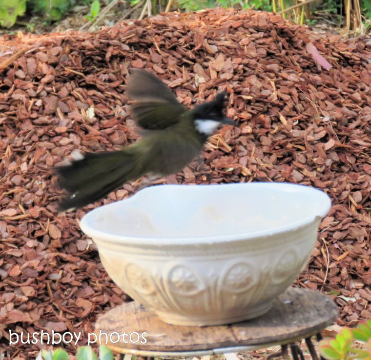 180921_blog challenge_whip bird_bird bath01
