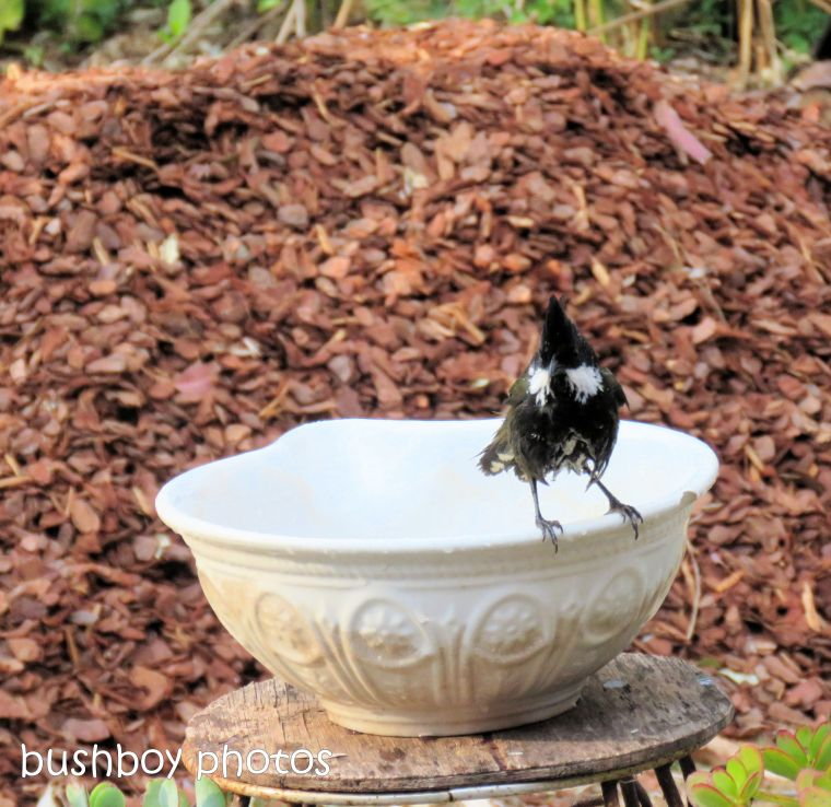 180921_blog challenge_whip bird_bird bath02