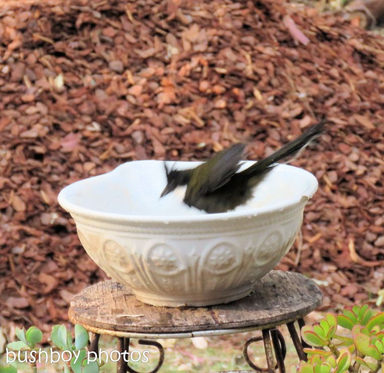 180921_blog challenge_whip bird_bird bath04