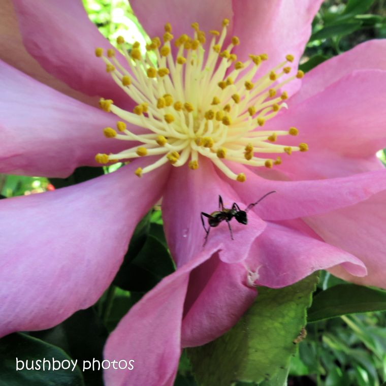 180924_blog challenge_pink square_camilia_flower_ant