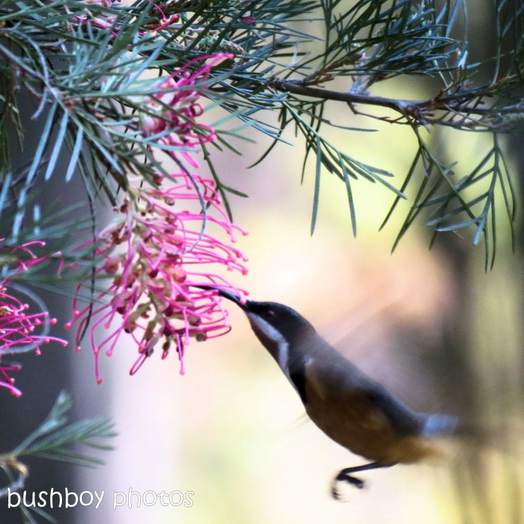 180927_blog challenge_pink square_grevillea_flower_eastern spinebill