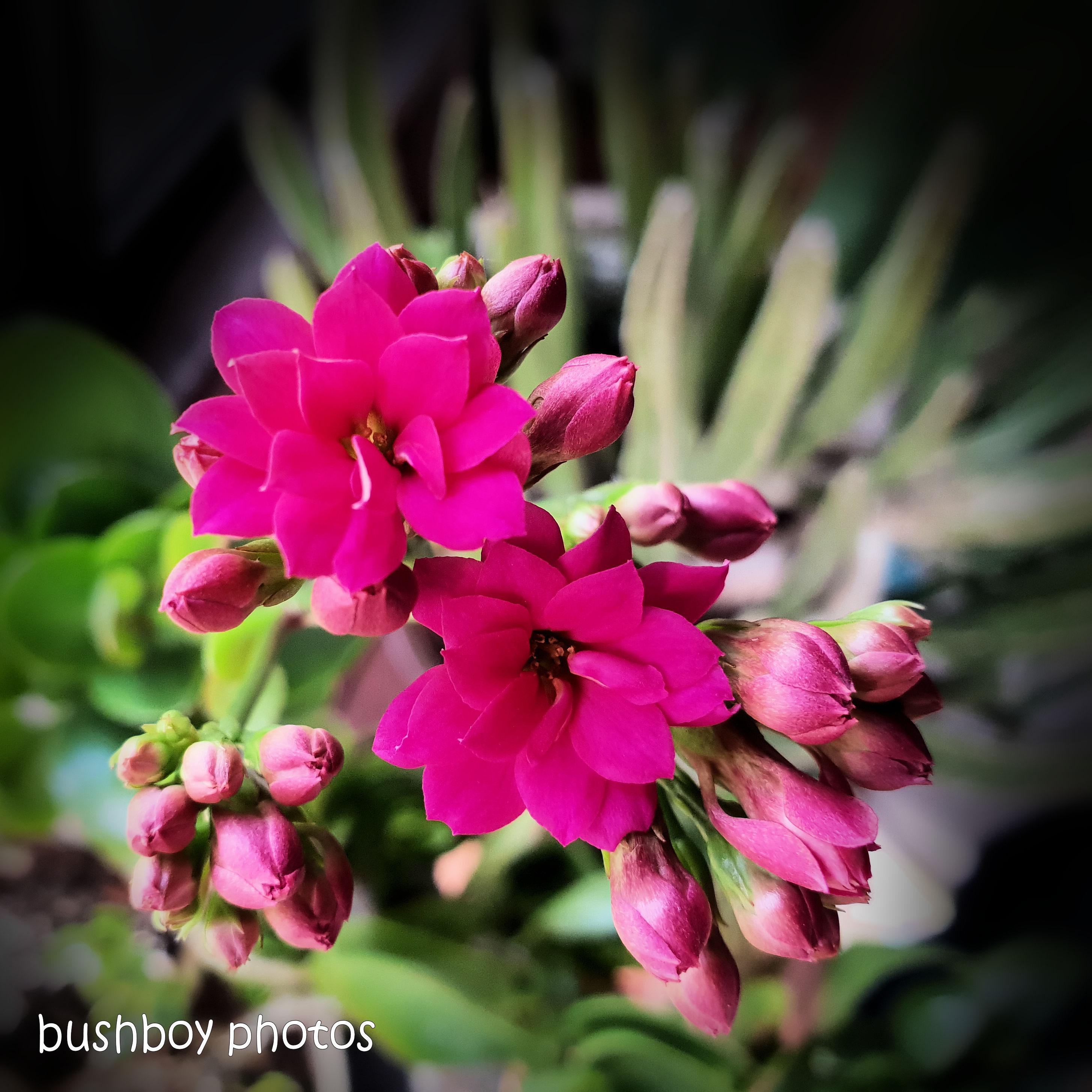 180930_blog challenge_pink square_kalanchoe_flower