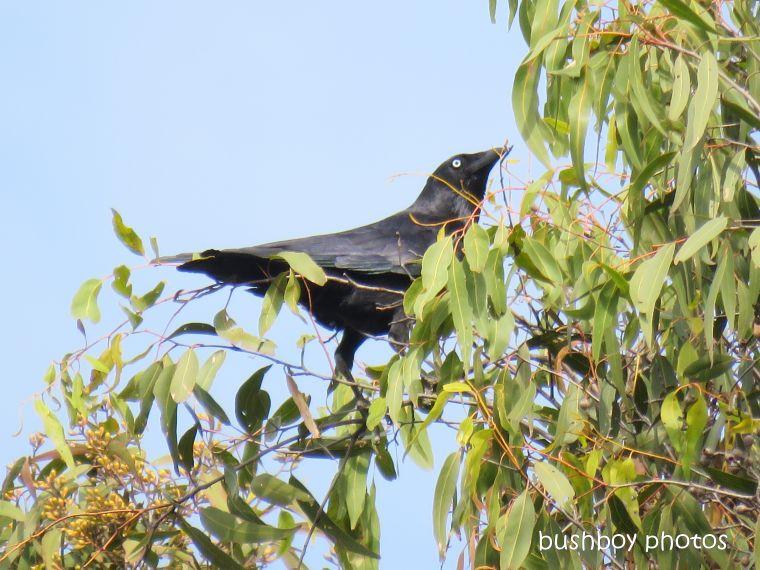 australian raven_tree top_named_home_aug 2018