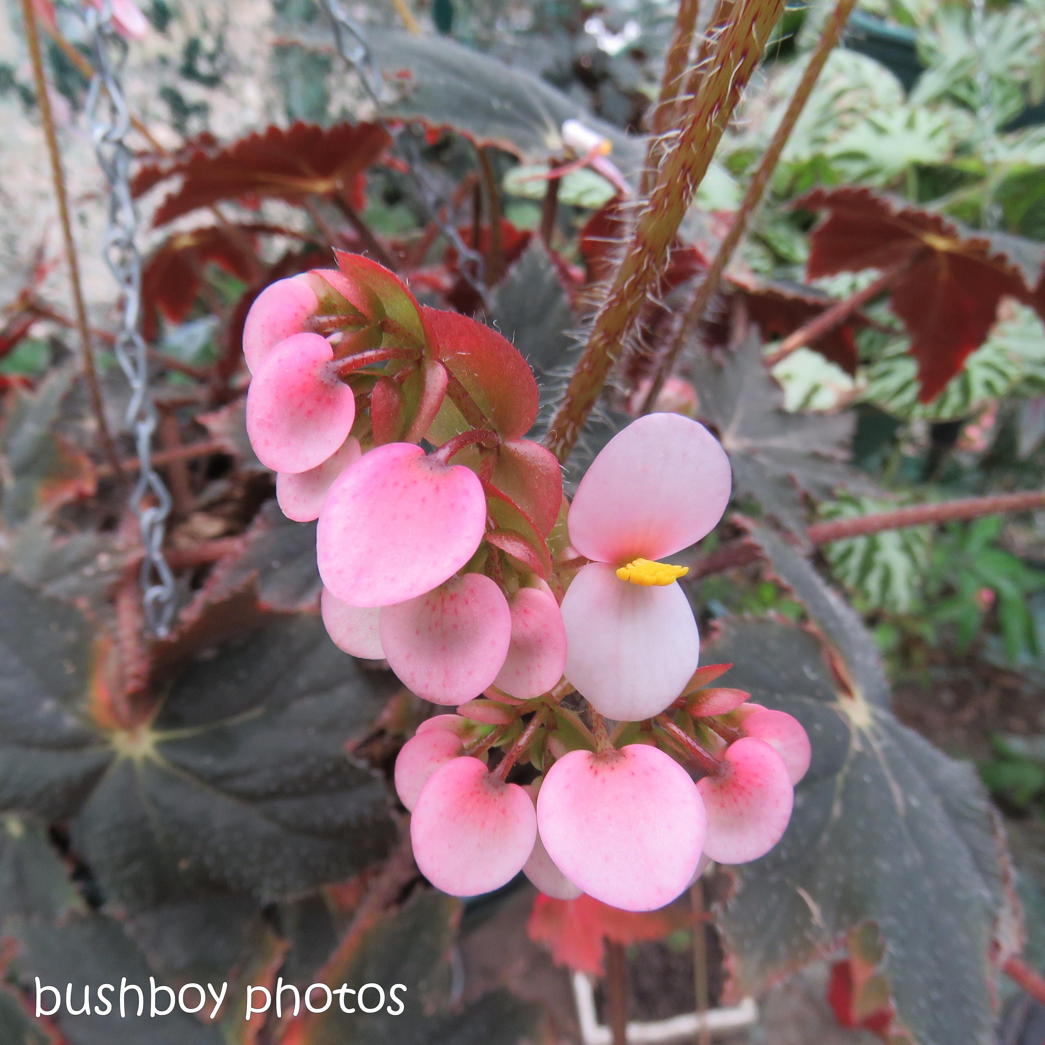 blog challenge_pink square_begonia_flower3