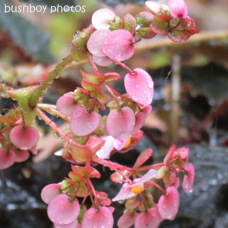 blog challenge_pink square_begonia_flower6