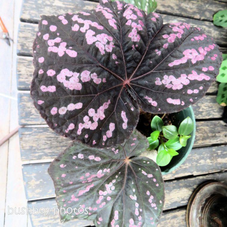 blog challenge_pink square_begonia_leaf