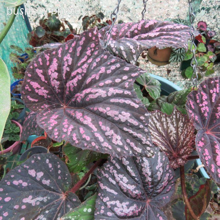 blog challenge_pink square_begonia_leaf3