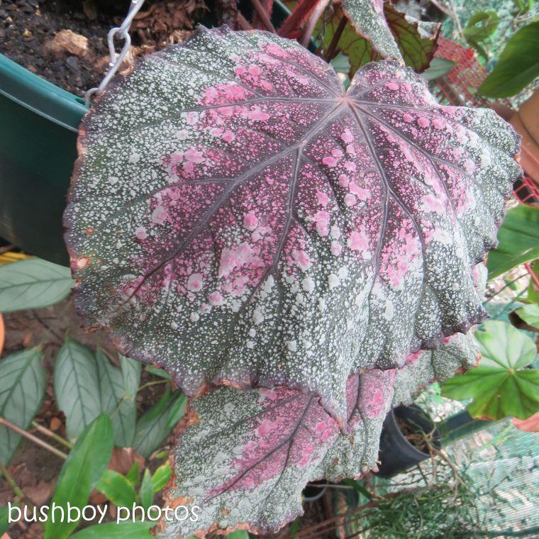 blog challenge_pink square_begonia_leaf4