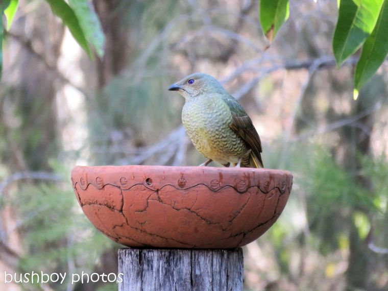 bowerbird_female_bird bath_named_home_aug 2018