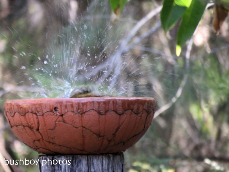 bowerbird_splash_bird bath_named_home_aug 2018