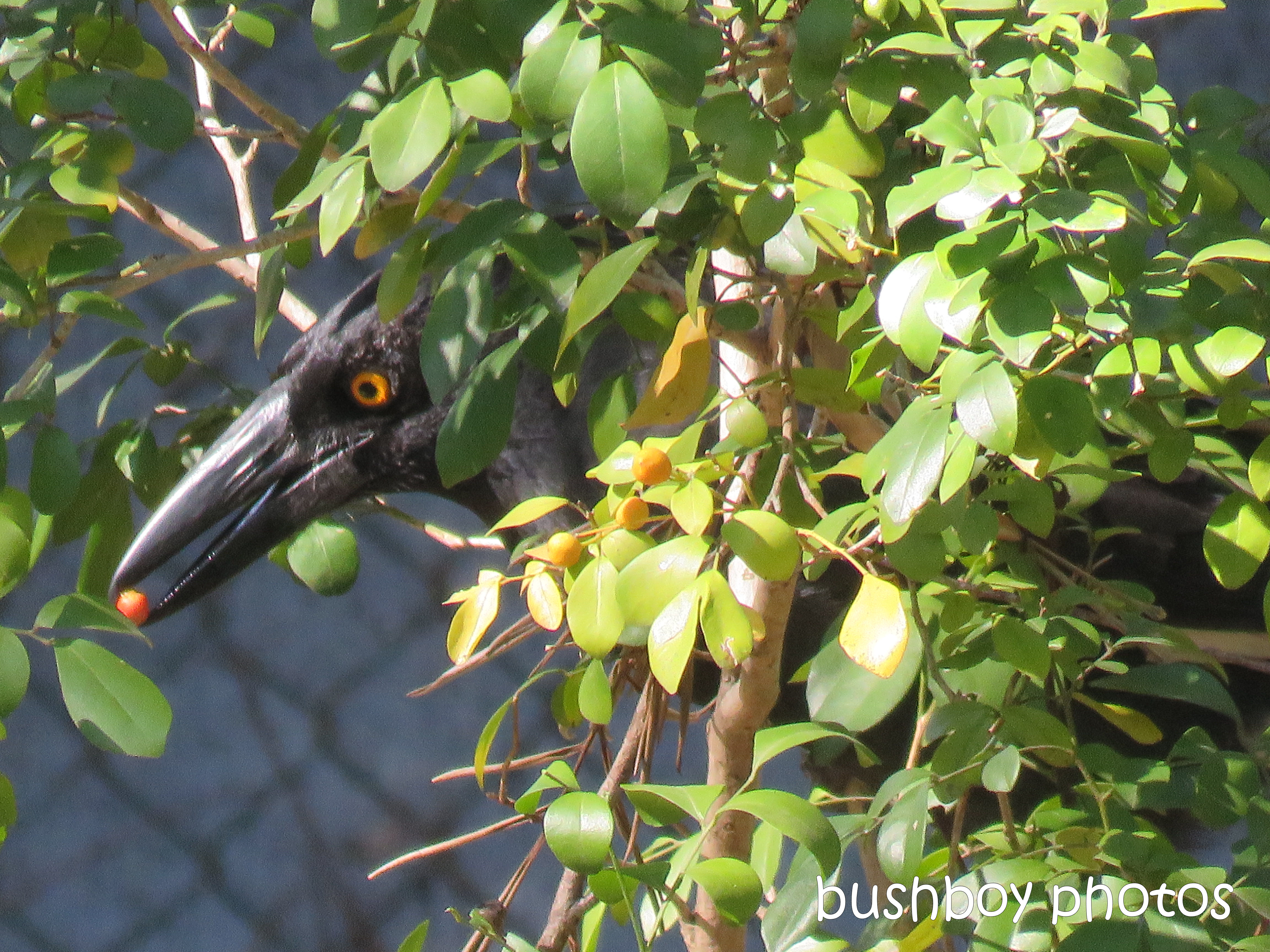 currawong_berry_named_home_aug 2018
