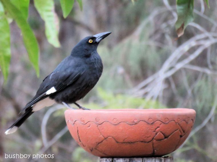currawong_bird bath_named_home_aug 2018