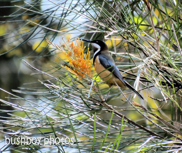 eastern spinebill_honey gem grevillea_named_home_aug 2018