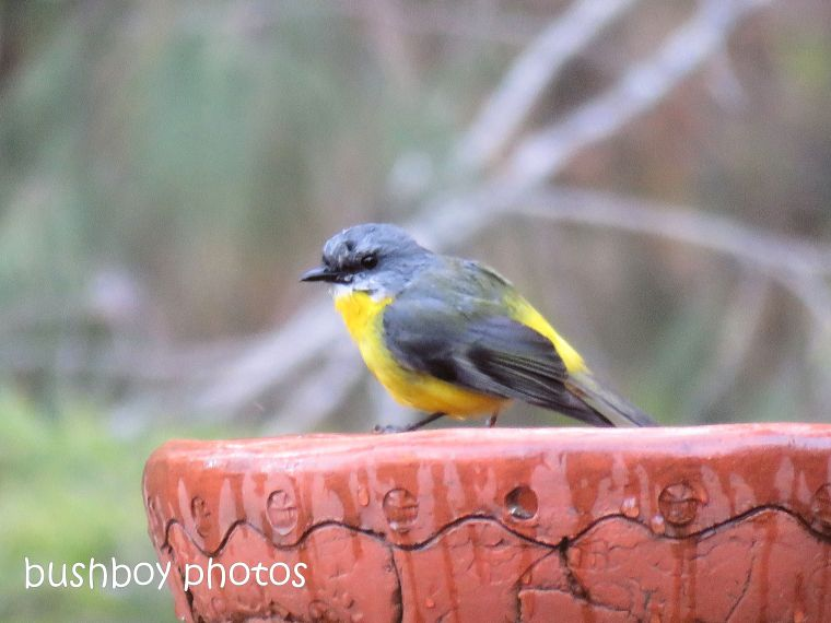 eastern yellow robin_bird bath_named_home_aug 2018