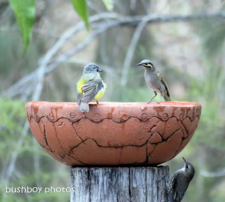 eastern yellow robin_yellow faced honeyeater_bird bath_named_home_aug 2018