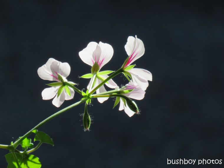 geranium_flower_named_home_aug 2018