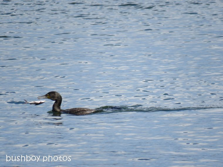great cormorant05_fish_clarence river_named_grafton_sept 2018