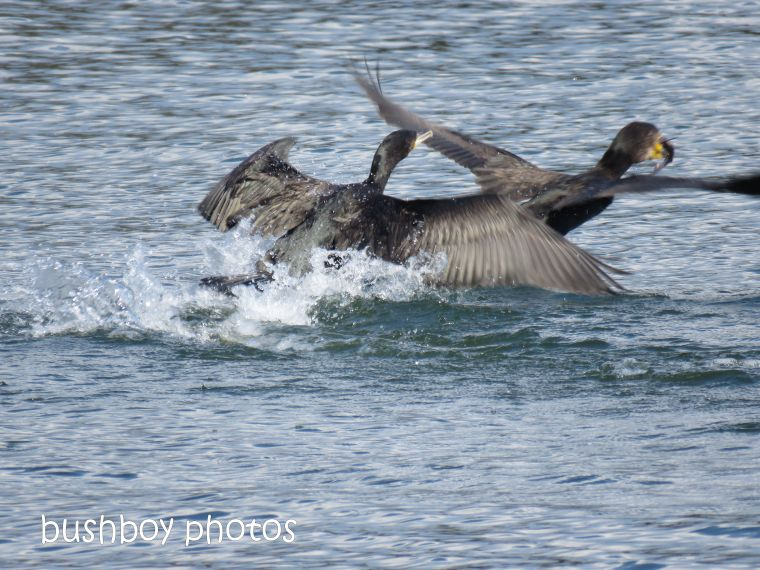 great cormorant09_fish_clarence river_named_grafton_sept 2018