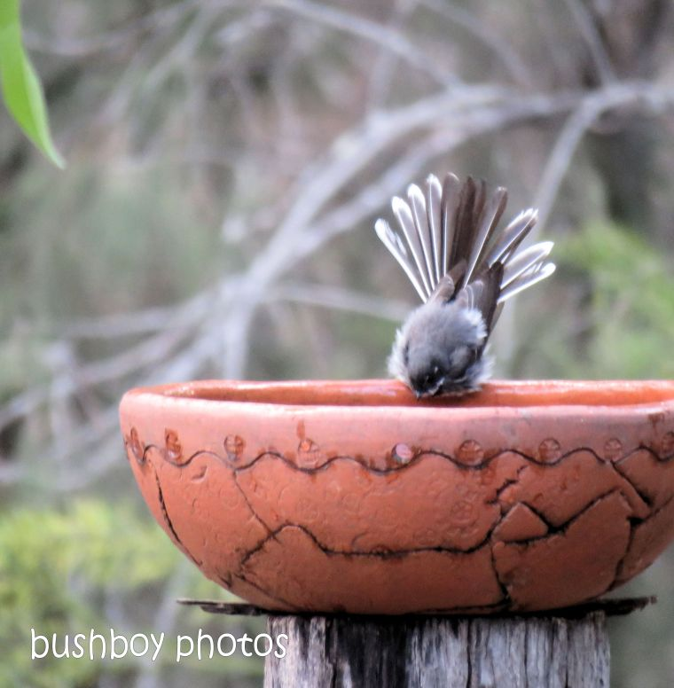 grey fantail_bird bath_named_home_aug 2018