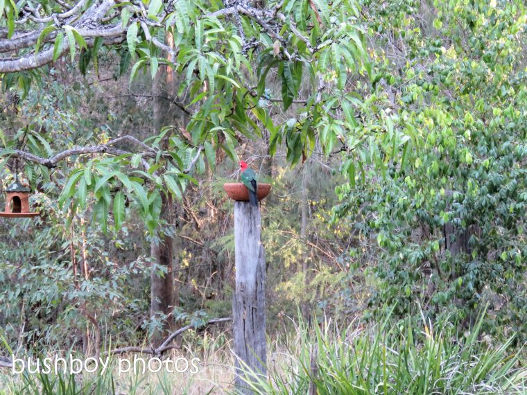 king parrot_bird bath_named_home_aug 2018