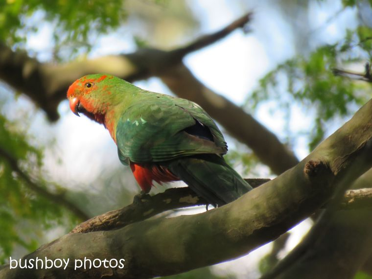 king parrot_morph_named_home_aug 2018